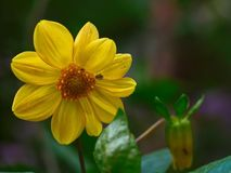Big alone yellow flower in the garden. Big alone yellow flower with one little bug in the garden royalty free stock photo
