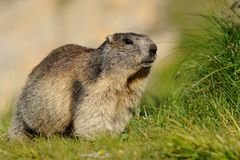 Big Alpine Marmot. This marmot lives in the European Alps and is searching something to eat Stock Photos