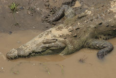 Big American crocodile Royalty Free Stock Photo
