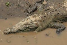 Big American crocodile royalty free stock photo