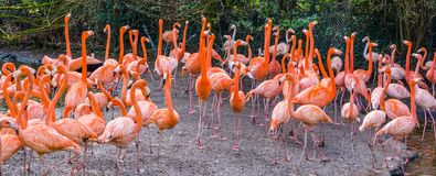 Big American flamingo family standing all together, tropical birds from the galapagos islands royalty free stock photos