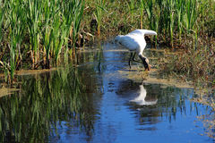 A big American forest stork Stock Images