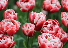 Big amount of the bright colorful tulip flowers in the flowerbed Stock Photo