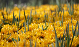The big amount of crocuses growing in the park Stock Images