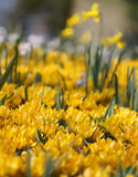 The big amount of crocuses growing in the park Royalty Free Stock Images