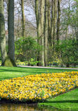 The big amount of crocuses growing in the park Royalty Free Stock Photo