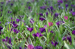 The big amount of purple crocuses growing in the park Royalty Free Stock Photo