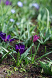 The big amount of purple crocuses growing in the park Royalty Free Stock Image