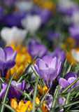 The big amount of purple and yellow crocuses growing in park Royalty Free Stock Images