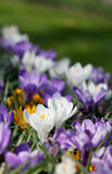 The big amount of purple and yellow crocuses growing in park Royalty Free Stock Photo