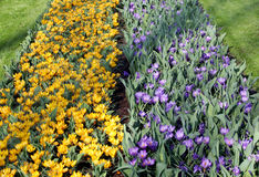 The big amount of purple and yellow crocuses growing in park Stock Photos