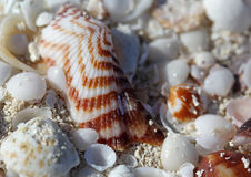 The big amount of shells laying in the sand macro shot. The big amount of white-brown shells laying in the sand macro shot Royalty Free Stock Photos