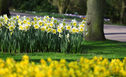Big amount of yellow narcissus flowers growing under spring sunshine Stock Photo