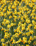 Big amount of yellow narcissus flowers growing under suns Royalty Free Stock Photography