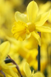 Big amount of yellow narcissus flowers growing under sunshine Royalty Free Stock Photos