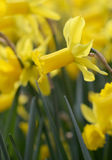Big amount of yellow narcissus flowers growing under sunshine Stock Images