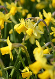 Big amount of yellow narcissus flowers growing under  sunshine Royalty Free Stock Images