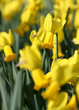 Big amount of yellow narcissus flowers growing under sunshine Royalty Free Stock Photography
