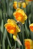 Big amount of yellow narcissus flowers growing under sunshine Royalty Free Stock Image