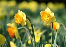 Big amount of yellow narcissus flowers growing under  sunshine Stock Photo