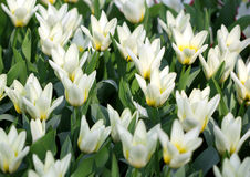 Big amount of yellow tulips flowers growing under suns Royalty Free Stock Images