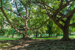 Big ancient trees in the national park. In Sri Lanka stock photography
