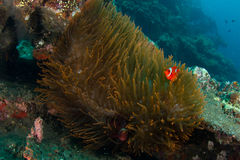 Big anemone with clownfish Royalty Free Stock Photography