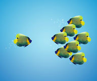 Big angelfish leading group of angelfish Royalty Free Stock Photo