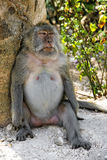 Big Angry Monkey Relaxing. Grumpy monkey relaxing against a tree Royalty Free Stock Photo