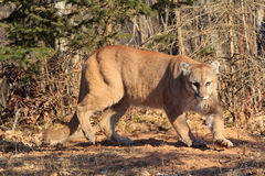 Big angry mountain lion Royalty Free Stock Image