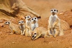 Big Animal family. Funny image from Africa nature. Cute Meerkat, Suricata suricatta, sitting on the stone. Sand desert with small. Animal Stock Photo
