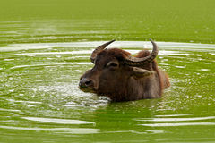 Big animal in the nature habitat. Bull swimming in the lake. Water buffalo in Yala, Sri Lanka. Asian water buffalo, Bubalus bubali Stock Images