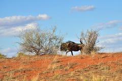 Big animal in the nature habitat, Namibia, Kalahari desert Stock Photos