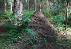 Big ant hill Royalty Free Stock Photos