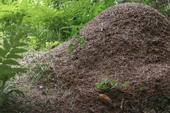 The big ant hill in a coniferous forest Royalty Free Stock Photography