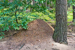 The big ant hill in coniferous wood Royalty Free Stock Photography