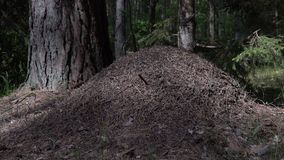 Big ant hill in European forest at morning light. Anthill, formicary nest structure made of pine tree needles stacked on top of stock video footage