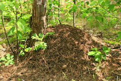 Big ant hill in the forest Stock Photo
