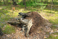 Big ant hill and stump in the forest Royalty Free Stock Photography