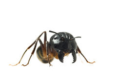 Big Ant isolated on white background Stock Photos