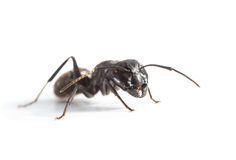 Big ant over white Royalty Free Stock Image