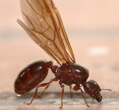 Big ant with wings Stock Image