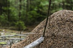 Anthill in the woods Royalty Free Stock Photo