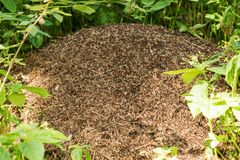 Big anthill with colony of ants Stock Photos