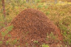 Anthill in the forest Stock Images