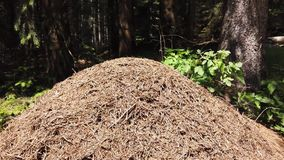 Big anthill in a pine forest of the Italian Alps stock video footage
