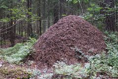 Big anthill in the spruce forest Royalty Free Stock Image