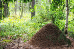 Big anthill in the woods. Stock Images