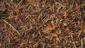 Ants Colony in Wildlife. Big Anthill in forest close-up. Natural background