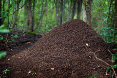 Big anthill in the woods. Stock Photography